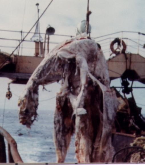 Zuiyo Mary Carcass